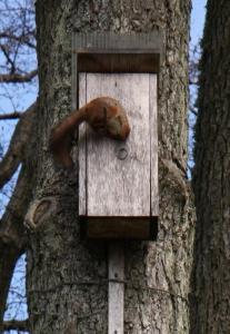 Voverės invazija į paukščių inkilą